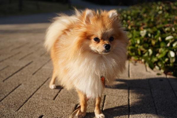 犬 ポメラニアン 保護